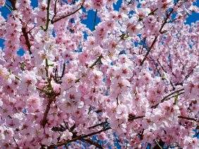 japanese-cherry-trees
